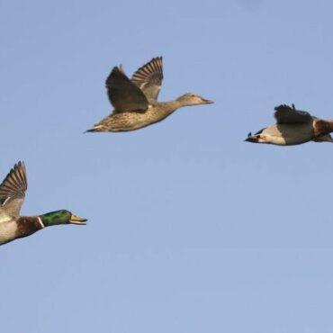 Охота на утку на перелете: октябрь