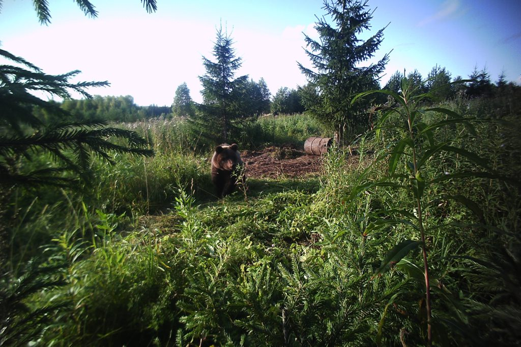 Охота на медведя на приваде