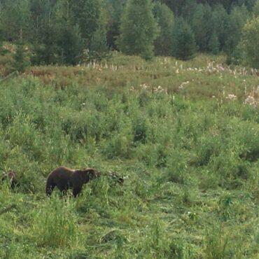 Охота на медведя на овсах или с подхода: сентябрь